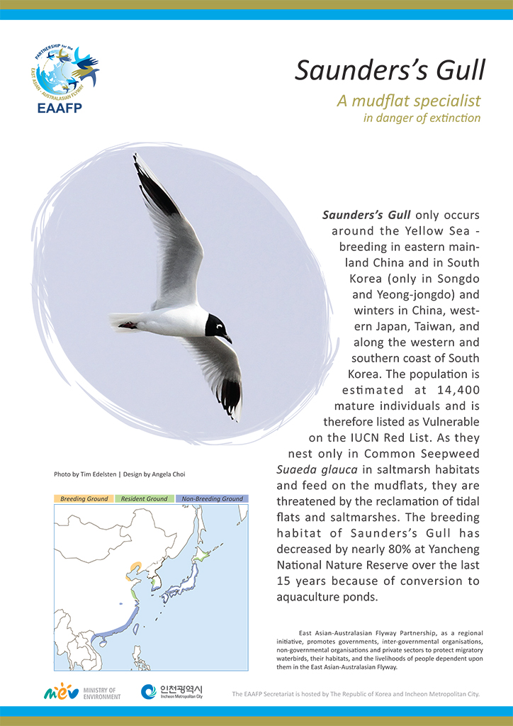 Species Flyer_Saunders's Gull
