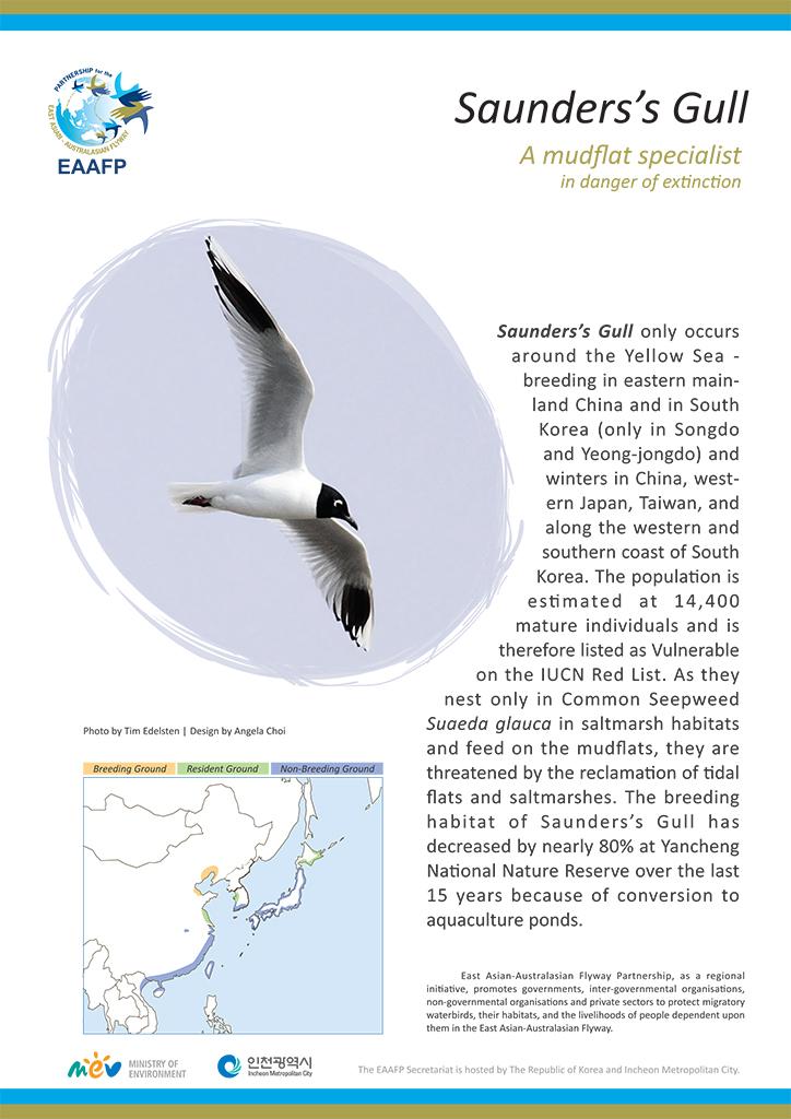 Species Flyer_Saunders's Gull