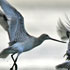 groups-shorebirds-thumb