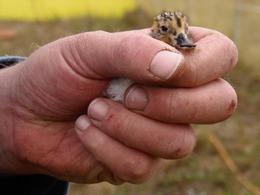 Hand-reared SBS chick before being released in Russia © Roland Digby