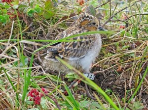 Spoon-billed Sandpiper 'AA' in Russia last summer (Photo © Nicky Hiscock).