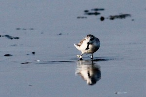 Spoon-billed Sandpiper 'AA' at Pak Thale, Thailand, early March (Photo © Peter Ericsson).