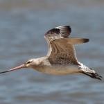 Longest non-stop flight: Bar-tailed godwit