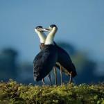 A pair of woolly necked storks. © Bjorn Olesen/FFI