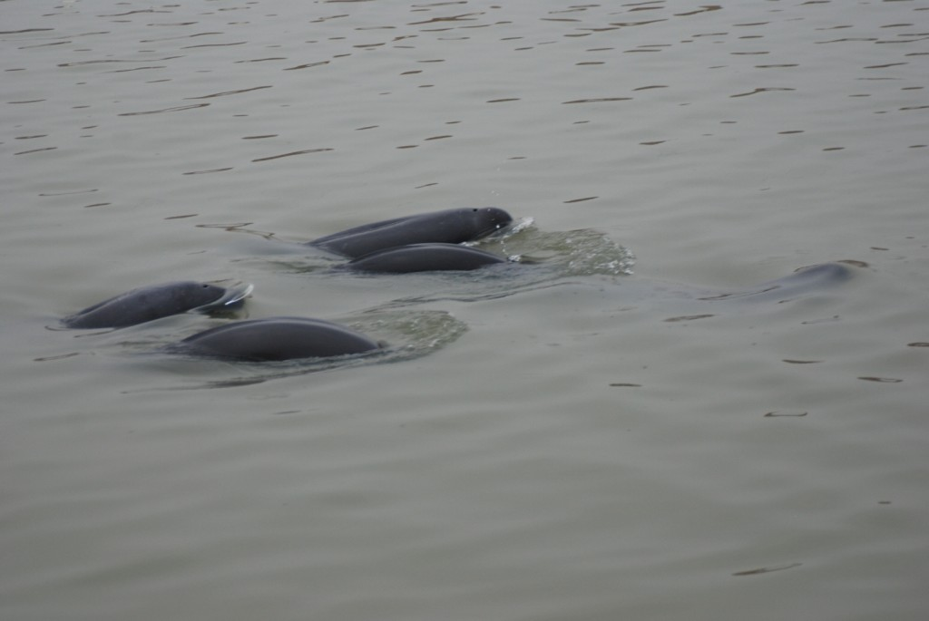 Finless porpoise at Poyang Lake
