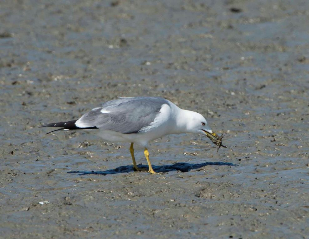 A Black-tailed Gull eating a crab @Eugene Cheah