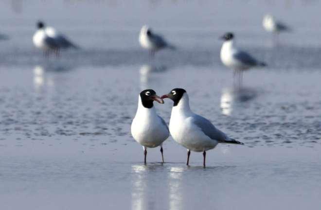 Relict Gulls pairing up ahead of the breeding season, Hangu, Tianjin. Photo by Wang Jianmin.
