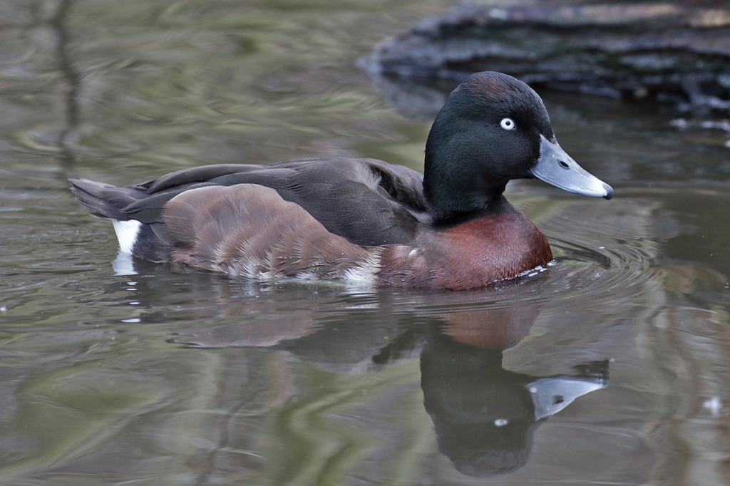 Male Baer's type, March 15th 2015, Martin Mere (UK) © Pete Morris. Note e.g. the rufous on crown, greatly reduced fore-flank white and the grainy look to the scapulars. (NB: No other Aythya were seen to be in eclipse-type plumage on this date)