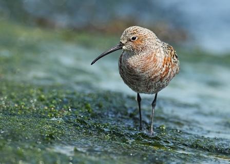 Curlew-Sandpiper_Robin-Newlin