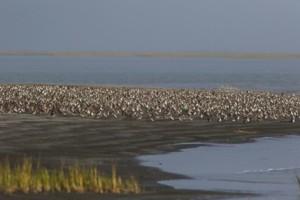 Large number of shorebirds