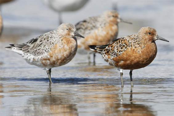 A red knot in breeding plumage © Bruce McKinlay Department of Conservation – New Zealand