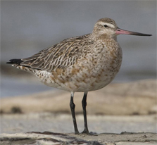 A male godwit showing how fat they are before migrating to China © Bruce McKinlay Department of Conservation – New Zealand