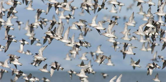 A flock of red knots takes flight © Bruce McKinlay Department of Conservation – New Zealand