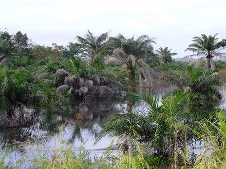Flooded oil palm plantation, Riau (Deltares, 2014) © Wetlands International 2014