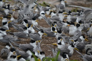 colony_in_late_may_when_most_birds_were_incubating