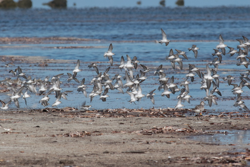 red-necked-stints-flying-3thompsons-beach-sa-ms-002