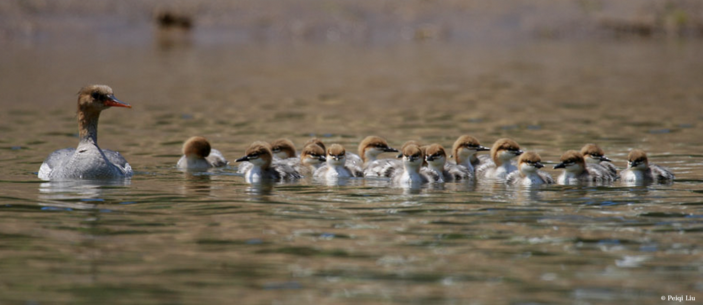 Give a home to Scaly-sided Merganser