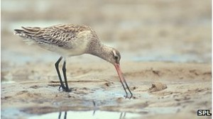 _71595027_c0128579-bar-tailed_godwit-spl