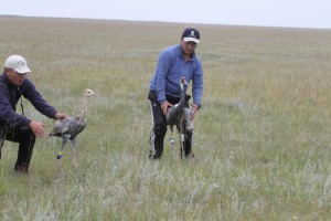 Crane family with PTT © Wildlife Science and Conservation Center of Mongolia
