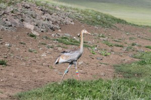 Crane with PTT © Wildlife Science and Conservation Center of Mongolia