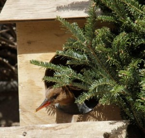 A nesting hen sticks her head out of a wooden cavity box. / Photo by Judith Wolfe.