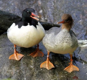 Scaly-sided Merganser pair / Photo by Judith Wolfe.