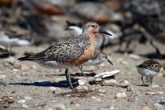 Red Knot, Mispillion Harbor, Delaware. Credit: Gregory Breese/USFWS