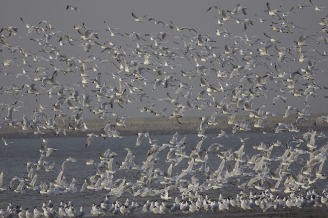 At-10405-birds-this-flock-was-the-largest-ever-seen-at-a-single-site.