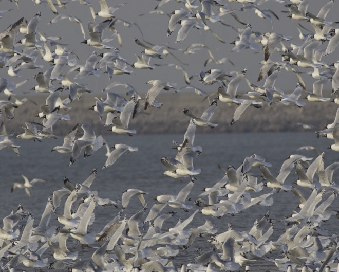 Relict-Gulls-Hangu-Tianjin-26-March-2015.-Occasionally-the-flock-would-take-to-the-air-following-the-retreating-sea.