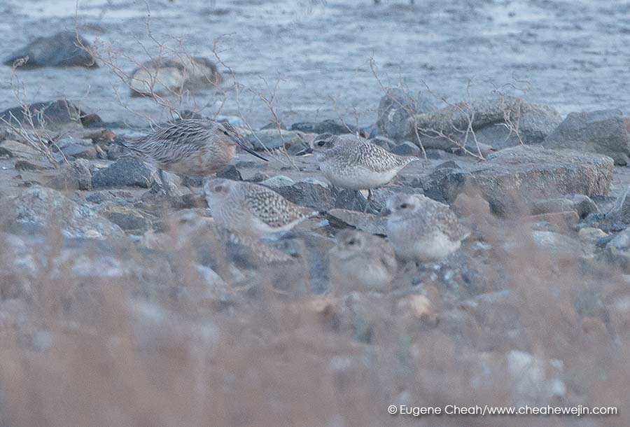 bar tailed godwit and plover