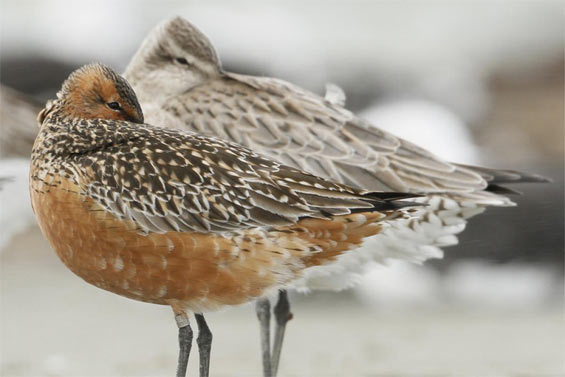 A bar-tailed godwit at rest on a roost in New Zealand © Bruce McKinlay Department of Conservation – New Zealand