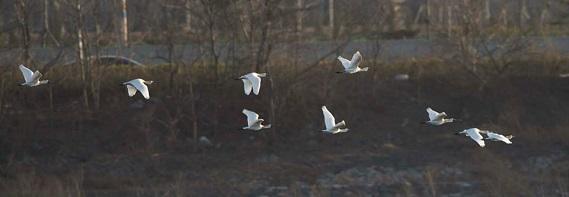 Black-faced Spoonbills in flight ©Eugene Cheah