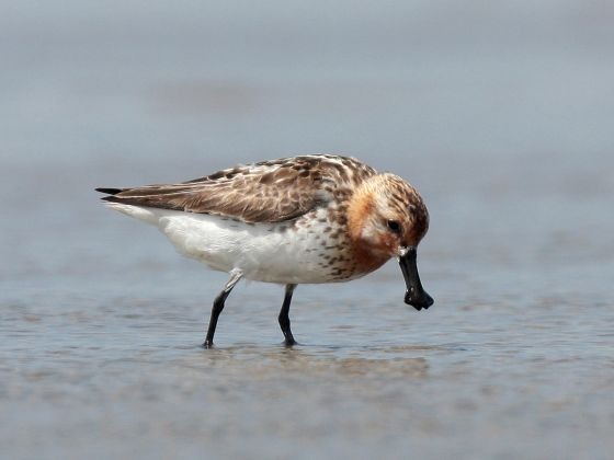 The critically endangered Spoon-billed Sandpiper ©Michelle Wong